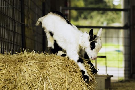 ten facts about goat redwood hill farm 130 | goat haybale cropped 1900