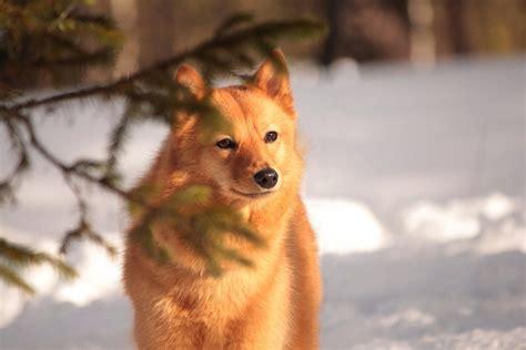 finn spicc kutya