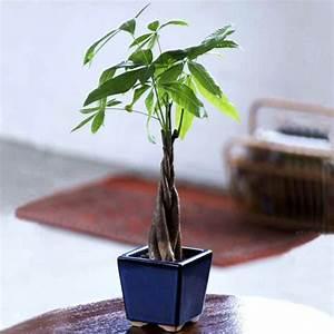 Zimmerpflanzen Alte Sorten : passende zimmerpflanzen bestimmen und pflegen ~ Michelbontemps.com Haus und Dekorationen