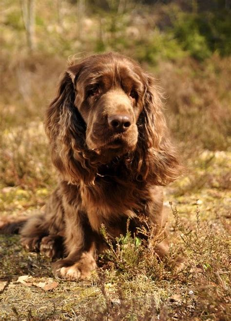boykin spaniel shed 52 best sussex spaniel images on sussex