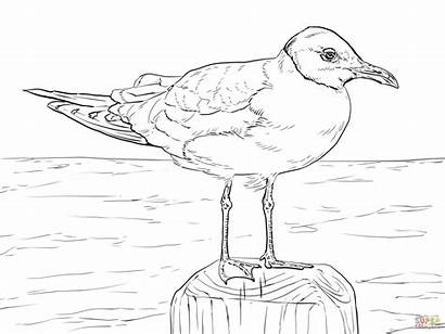 Coloring Gull Drawing Laughing Seagulls Seagull Pages