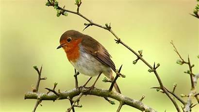 Robin Birds Bird Wallpapers Desktop Computer Winter