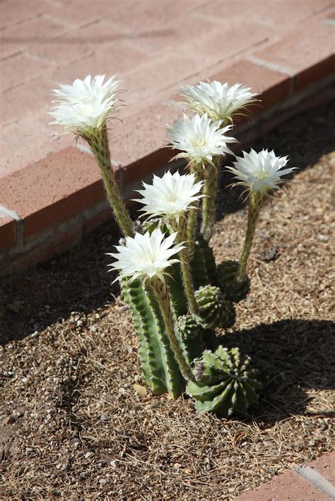 The Azure Gate: Another Bloomin' Cactus