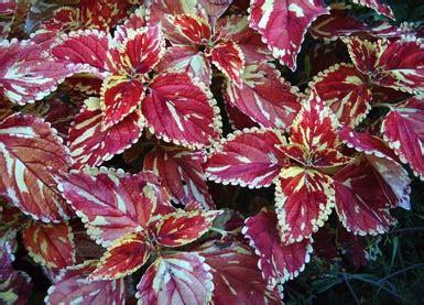 buntnessel painted nettle willkommen auf pflanzenliebe