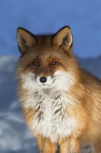 Mr Fox : fantastic mr fox foxland pinterest ~ Eleganceandgraceweddings.com Haus und Dekorationen