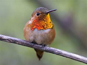 Allen's Hummingbird. The Earliest USA Hummingbird to Migrate.