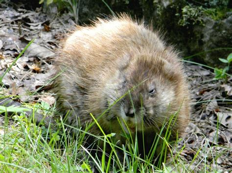 Images Of Muskrats File Muskrat Foraging Jpg Wikimedia Commons