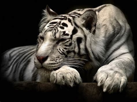 white tiger hd wallpapers background images
