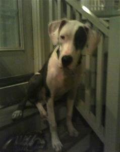American Bull Dane Dog Breed Information and Pictures