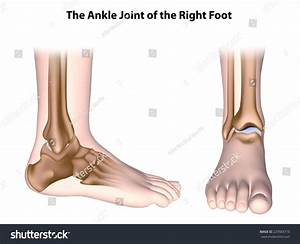 Ankle Joint Anatomy Unlabeled Stock Illustration 229583710
