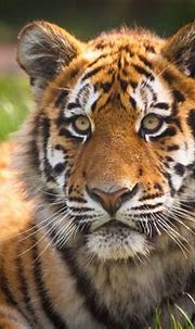 Siberian / Amur Tiger - Zambar, Blackpool Zoo | The ...