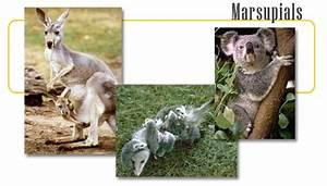 Marsupial Animals | www.pixshark.com - Images Galleries ...