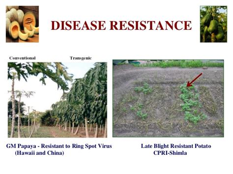 Igidrifpri  Challenges And Opportunities Of Gm Crops P
