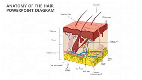 Hair Anatomy Diagram by Anatomy Of The Hair Powerpoint Diagram Pslides