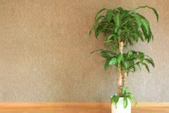 Schmucklilie überwintern Gelbe Blätter : yucca palme bekommt gelbe bl tter ursachen ma nahmen ~ Eleganceandgraceweddings.com Haus und Dekorationen