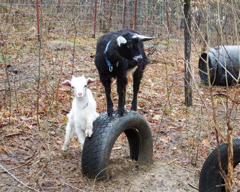diy toys  goats    busy home design garden