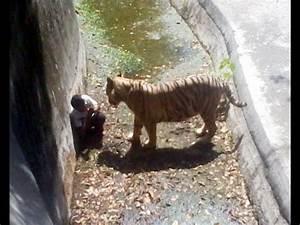 Tiger Eats Man in Delhi Zoo – Shocking Video - YouTube