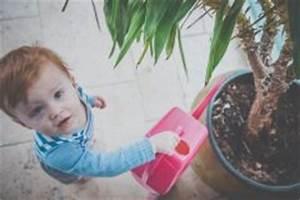 Hanfpalme Braune Blätter : zimmerpalme bestimmen welche palme haben sie ~ Lizthompson.info Haus und Dekorationen