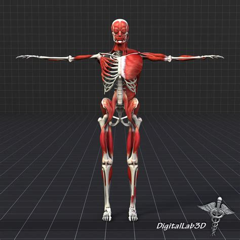 Human bones and muscles 3d model. 3D Human Muscle And Bone Structure   CGTrader