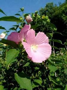 Taille De L Hibiscus : hibiscus des marais hibiscus palustris le jardin du ~ Melissatoandfro.com Idées de Décoration