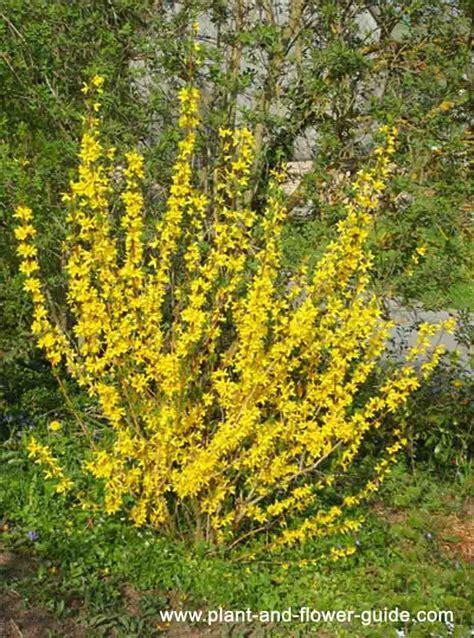 Forsythia Bush  Bright Yellow Spring Flowers! Seen This