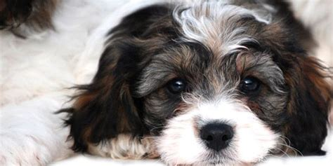 cavapoos cavachons wentwood puppies puppy puppys and search