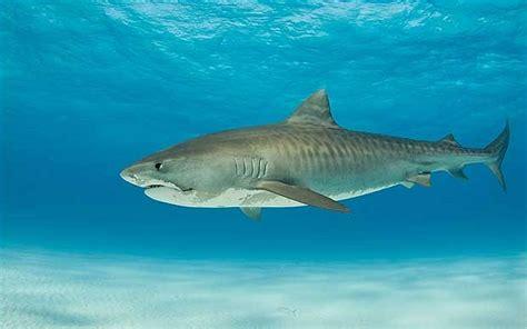 interesting facts  tiger sharks haydens animal facts