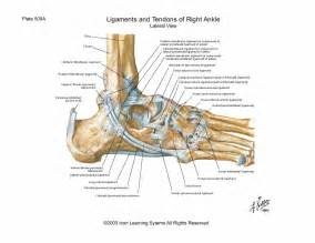 Lateral Collateral Ligament of Ankle Joint