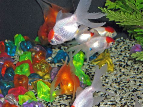 poisson eau froide pour petit aquarium 28 images www comparacile fr 520 web server is