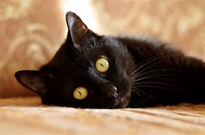 Blue Eyed Black Cat Breeds | Hairsstyles.co