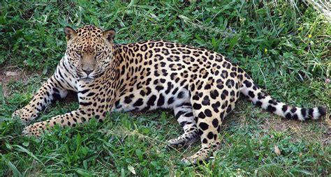 Detectan Presencia De Jaguares En Guanajuato