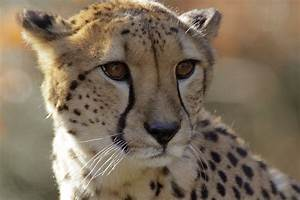 Asiatic Cheetahs Are Desperately Racing Toward Extinction