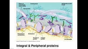 Ap Biology Membrane Structure And Cell Dynamics  Full