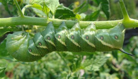 tomato hornworms    rid  tomato hornworms