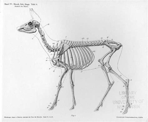 deer skeleton references pinterest skeletons animal