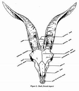 Goat Head Anatomy