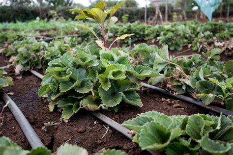 netafim develops advanced drip irrigation technology blumont