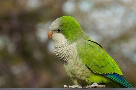 quaker bird quaker parrot feathered pets pinterest