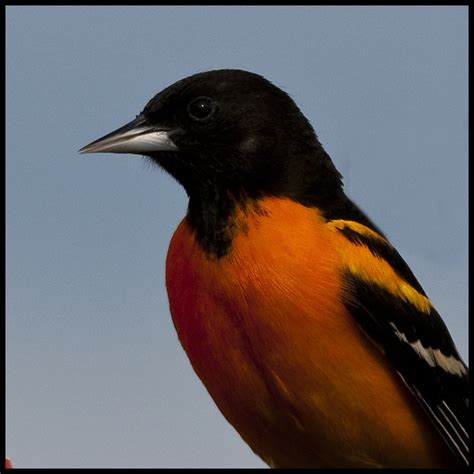 maryland state bird the oriole state of maryland usa