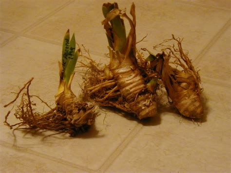 what are rhizomes how to grow organic irises on the green farms