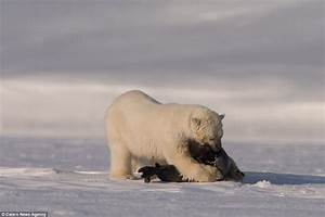 Polar bear mother teaches its young to hunt by waiting for ...