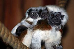 A cotton top tamarin with two babies - ABC News ...