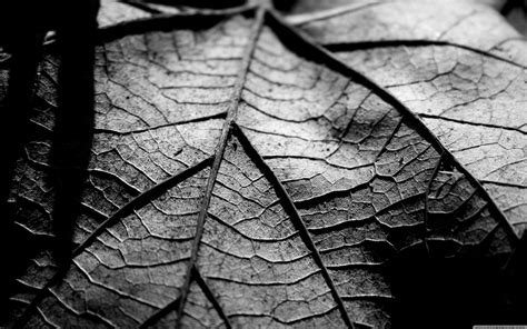 dry leaf black  white  hd desktop wallpaper