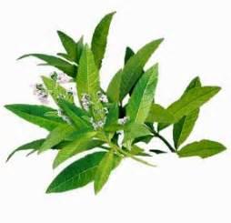 Verveine Plante Tisane : verveine en livraison ~ Mglfilm.com Idées de Décoration