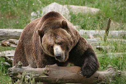 Grizzly Bear Urso Brown Ours Orso Ursus