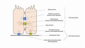 Epithelial Cell Diagram