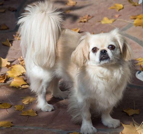 cute dogs white pekingese dog