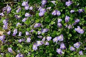Blau Blühender Bodendecker : lippenm ulchen pflege pflanzen d ngen schnitt ~ Frokenaadalensverden.com Haus und Dekorationen