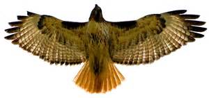 Image result for kestrel hawk images free to use
