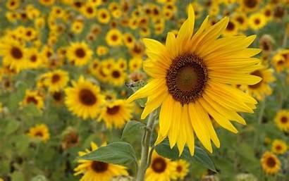 Bunga Gambar Untuk Laptop Cantik Sunflower Dan